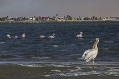 Pelikan i flaming, Namibia Fotografia Stock
