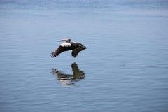 Pelikan i flyg över vatten Australien Arkivbild