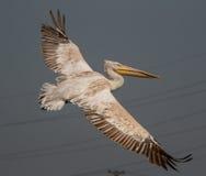 Pelikan i flyg Royaltyfri Foto