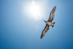 Pelikan i flyg Fotografering för Bildbyråer