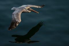 Pelikan i flyg Arkivfoton