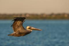 Pelikan i flyg Royaltyfria Bilder