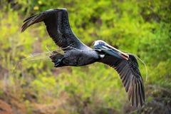 Pelikan i flyg Arkivbild