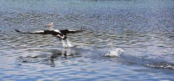 Pelikan i flykten Arkivfoton