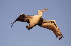 Pelikan i flykten Arkivbild
