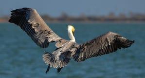 Pelikan i flykten Royaltyfria Bilder