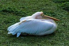 Pelikan i gräset Arkivfoto