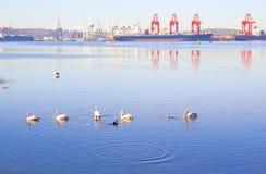Pelikan i hamn Royaltyfria Foton