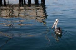 Pelikan i havet Arkivbilder