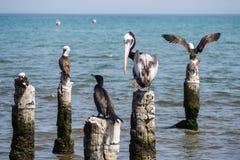 Pelikan i inni ptaki stoi w wybrzeżu Paracas zdjęcia royalty free