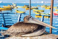 Pelikan i Kolorowe łodzie Obraz Stock
