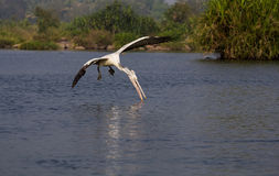 Pelikan i luft Arkivbild