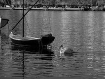 Pelikan i Mykonos, Grekland Royaltyfri Bild