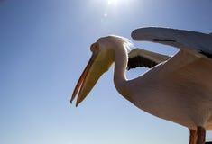 Pelikan i Namibia Royaltyfria Bilder
