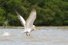 Pelikan i naturlig livsmiljö Arkivfoto