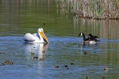 Pelikan i Niektóre Kanadyjskie gąski Zdjęcia Royalty Free