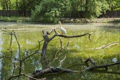 Pelikan i pięć żółwi na jeziorze zdjęcia stock