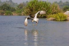 Pelikan i sökande Fotografering för Bildbyråer