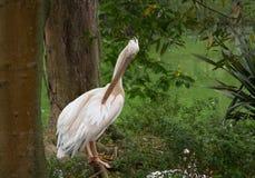Pelikan i träna Arkivfoto