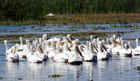 Pelikan i träsk Royaltyfria Bilder