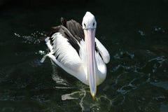 Pelikan i vattnet Fotografering för Bildbyråer