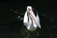 Pelikan i vattnet Arkivbild