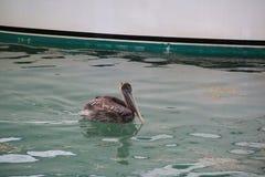 Pelikan i vattnet Royaltyfri Fotografi