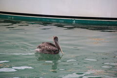 Pelikan i vattnet Arkivbilder