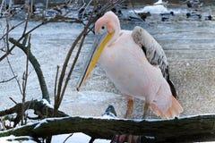 Pelikan i vintern - waterbird royaltyfri fotografi