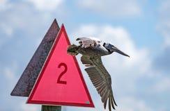 Pelikan ignorerar tecken Royaltyfri Bild