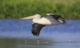 Pelikan im Flug über See Stockfotos