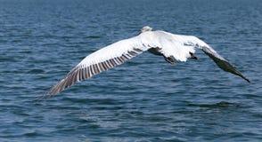 Pelikan im Flug Stockfoto