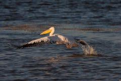 Pelikan im Flug Lizenzfreies Stockfoto