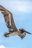 Pelikan im Flug Lizenzfreies Stockbild