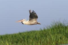 Pelikan im Flug über Schilfen Stockbilder