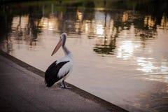 Pelikan im Sonnenuntergang Stockbild