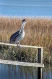 Pelikan im Sumpf Lizenzfreie Stockfotos
