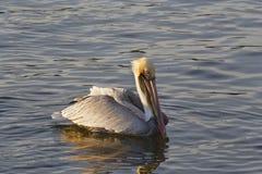 Pelikan im Wasser Stockbilder