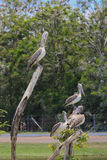 Pelikan im Zoo Lizenzfreies Stockfoto