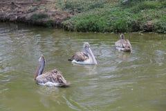 Pelikan im Zoo Stockbilder