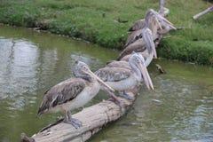Pelikan im Zoo Lizenzfreie Stockbilder