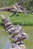 Pelikan im Zoo Stockfotos