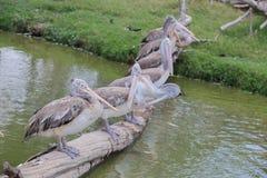 Pelikan im Zoo Stockfotografie