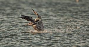 Pelikan-Jagd Stockbilder