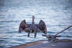 Pelikan Kaliforniens Brown, der vom Dockmitten in der luft sich entfernt Stockfotografie