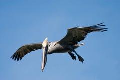 Pelikan Kaliforniens Brown im Flug Lizenzfreie Stockbilder