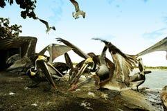 Pelikan-Kampf Stockbilder