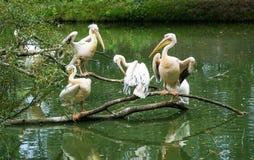 Pelikan kolonia Fotografia Royalty Free