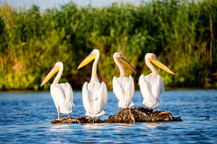 Pelikan kolonia w Danube delcie Rumunia Fotografia Royalty Free