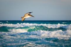 Pelikan, Kuba 2013 Stockfotografie